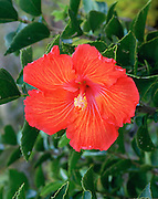 Hibiscus, Hawaii, USA<br />