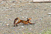 A red fox adult stretches before heading out to hunt on the beach at the McNeil River State Game Sanctuary on the Kenai Peninsula, Alaska. The remote site is accessed only with a special permit and is the world's largest seasonal population of brown bears in their natural environment.