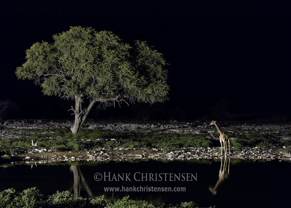 A giraffe stands next to a tree at the Okaukuejo Waterhole.  Its body is reflected in the still waters, Etosha National Park, Namibia.