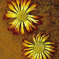 Two drying red and yellow flowerheads of Chrysanthemum lying on rusty metal sheet