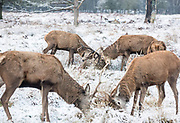 UNITED KINGDOM, London: 23 January 2019 Rutting red deer play on a frosty Richmond Park in London this morning. Temperatures sunk to below freezing yesterday causing snow flurries across the country. <br /> Rick Findler / Story Picture Agency