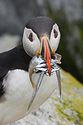 Atlantic Puffin, Machias Seal Island, Maine