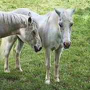 Nederland, Ubbergen, 13-9-2013Twee witte paarden, schimmels, staan in een wei.Foto: Flip Franssen/Hollandse Hoogte
