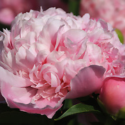 &quot;My Sweet Lady&quot; <br /> <br /> Beautiful pink peony!