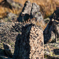Pika checking a scent mark on the Beartooth Plateau, Wyoming.