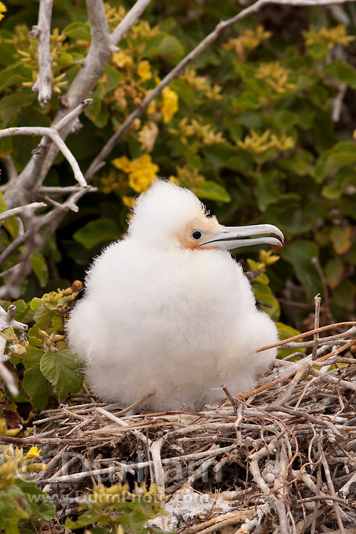 A young magnificent frigatebird (Fregata magnificens) chick, Genovesa Island, Galapagos archipilego, Ecuador.