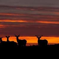 bull elk, summer, velvet, bulls, sunrise,