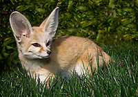 The largest populations of Vulpes zerda occur in the central Sahara, though the species can be found in mountainous and desert regions from northern Morocco (roughly 35 degrees N latitude), east along the northern tip of the Red Sea to Kuwait, and south into northern Nigeria and Chad (15 degrees N latitude).