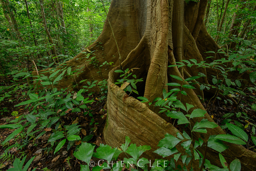 A large fig tree (Ficus sp.) with imposing buttress roots dominates the forest scenery in Tangkoko National Park, North Sulawesi.