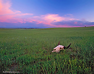Buffalo Skull in the shortgrass prairie on the Montana and North Dakota state line