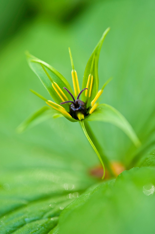 Herb paris Paris quadrifolia flower in Hallerbos forest, Belgium