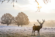 UNITED KINGDOM, London: 22 November 2018 A red deer stands amongst a frosty Richmond Park during sunrise this morning. Temperatures sunk to zero degrees in the capital last night. Rick Findler  / Story Picture Agency