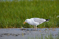American Herring gull (larus argentatus) eating a crab on tidal flats Crescent Beach, Nova Scotia, Canada,