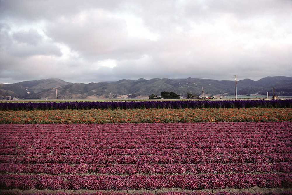 Flowers: Lompoc, California.