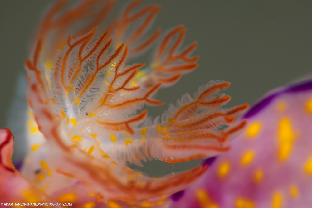 "Nudibranch means ""naked gills"". These animals have external organs that allow them to extratct oxygen from the water. This close up shows the brachial plume, or its lungs."