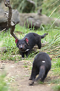 Tasmanian Devil<br /> Sarcophilus harrisii<br /> Bonorong Wildlife Sanctuary, Tasmania<br /> *Captive- rescued and in rehabilitation