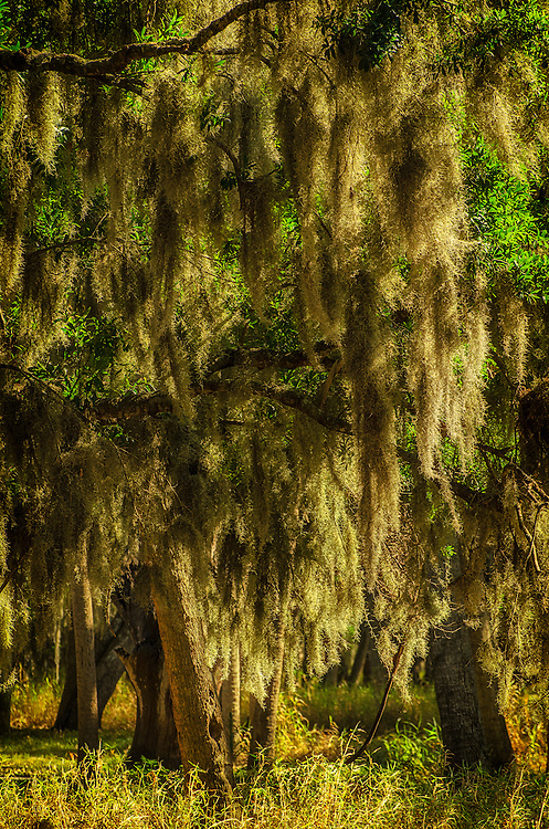 Late afternoon sunlight shining through Spanish moss in trees