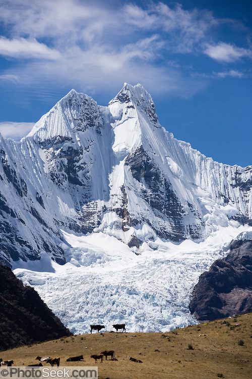 """The icy Nevado Jirishanca (Icy Beak of the Hummingbird, 6126 m or 20,098 feet) rises above cattle silhouettes near Incahuain settlement. Day 9 of 9 days trekking around the Cordillera Huayhuash in the Andes Mountains, near Llamac, Peru, South America. Published on full cover of """"Meridiani Montagne Speciale Ande 3"""" magazine 10 December 2014, by Editoriale Domus S.p.A. Milan, Italy."""