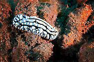 Nudibranch, Phyllidia varicosa, Lamarck, 1801, Molokai Hawaii