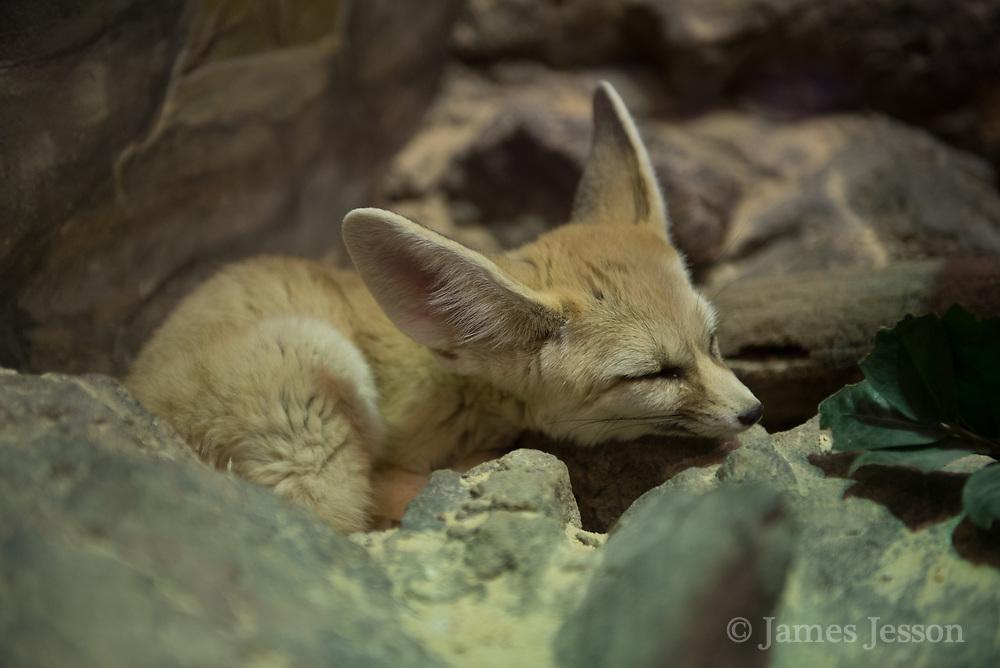 fennec fox sleeping photograph
