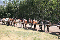A line of horses near the Glacier Park Lodge, Glacier National Park, Montana.