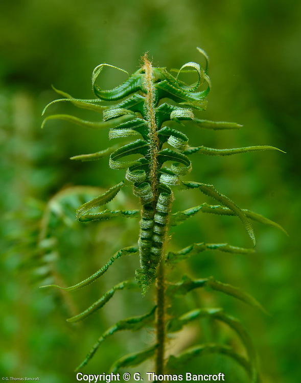 Sword fern.