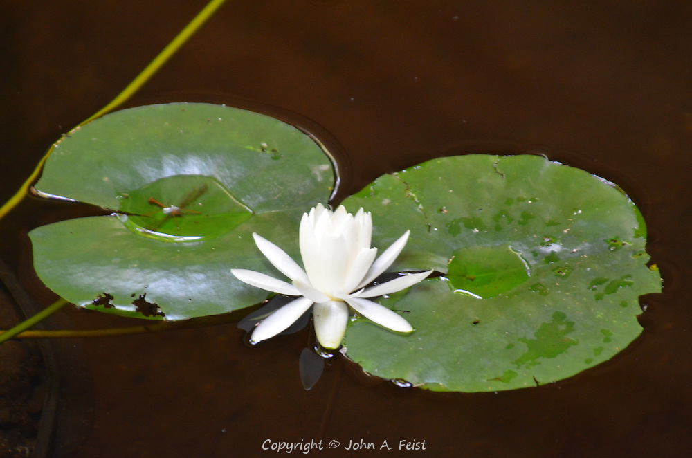 A white lotus blooming in the meditation sanctuary at Omega Institute, Rhinebeck, NY