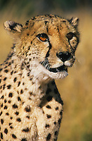 Cheetah (Acinonyx Jubatus) close-up
