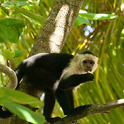Capuchin Monkey on tree. Roatan, Honduras.