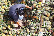 Sorting pineapples for market in the back of a truck, Nabalu Town, Sabah