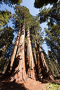 A cluster of Giant Sequoias (Sequoiadendron giganteum) known as The House grow together in Sequoia National Park, California. Giant Sequoias are the world's largest trees in terms of total volume, with the largest trees reaching 311 feet (95 meters) in height and more than 56 feet (17 meters) in diameter. The oldest Giant Sequoias are more than 3,000 years old. Sequoias are unique in that they can grow close together, sharing root systems, to get the water they need.