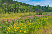 Tansy (Tanacetum vulgare) and fireweed (Epilobium sp) in meadow<br />