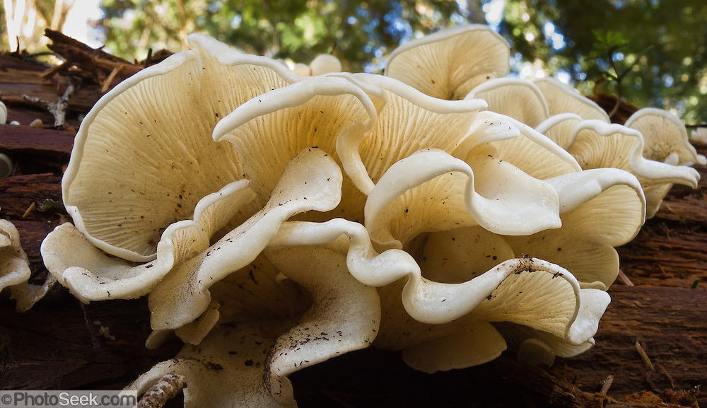 white oyster mushrooms, Alpine Lakes Wilderness Area, Wenatchee National Forest, Washington, USA
