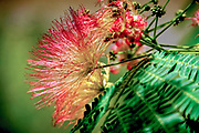 Calliandra is a genus of flowering plants in the pea family, Fabaceae, in the mimosoid clade of the subfamily Caesalpinioideae. It contains about 140 species that are native to tropical and subtropical regions of the Americas.