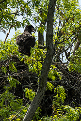 An American Bald Eagle fledgling enjoys the comfort and roominess of its nest.