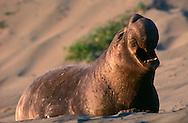 USA, Vereinigte Staaten Von Amerika: Nördlicher See-Elefant (Mirounga angustirostris), brüllender See-Elefantenbulle, Präsentieren der Nase, Länge der Nase kann 60 cm erreichen, je älter und stärker das Tier umso größer die Nase, allein das Präsentieren dieses Organs kann Nebenbuhler zur Flucht veranlassen, Strand direkt neben California State Route 1, San Simeon, Kalifornien | USA, United States Of America: Northern Elephant Seal (Mirounga angustirostris), roaring bull elephant seal, presenting of the nose, length of the nose can getting 60 centimeter, as older and stronger the animal so bigger the nose, just only the presenting of the nose can putting rivals to rout, beach directly next to Cabrillo Highway 1, San Simeon, California |