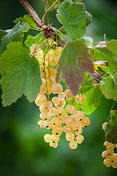 Ribes 'White Versailles'. Whitecurrant