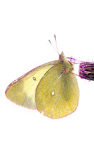 IFTE-NB-007275; Niall Benvie; Colias palaeno; Europe; Austria; Tirol; Fliesser Sonnenhänge; invertebrate insect butterfly arthropod; vertical; high key; white purple yellow; controlled; marshland moor; 2008; July; summer; strobe backlight; Wild Wonders of Europe Naturpark Kaunergrat