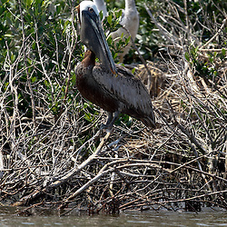 A Brown Pelican is perched on a branch at Cat Island off the coast of Louisiana on Thursday, June 17 2010. Oil from the Deepwater Horizon spill continues to impact areas across the coast of gulf states.