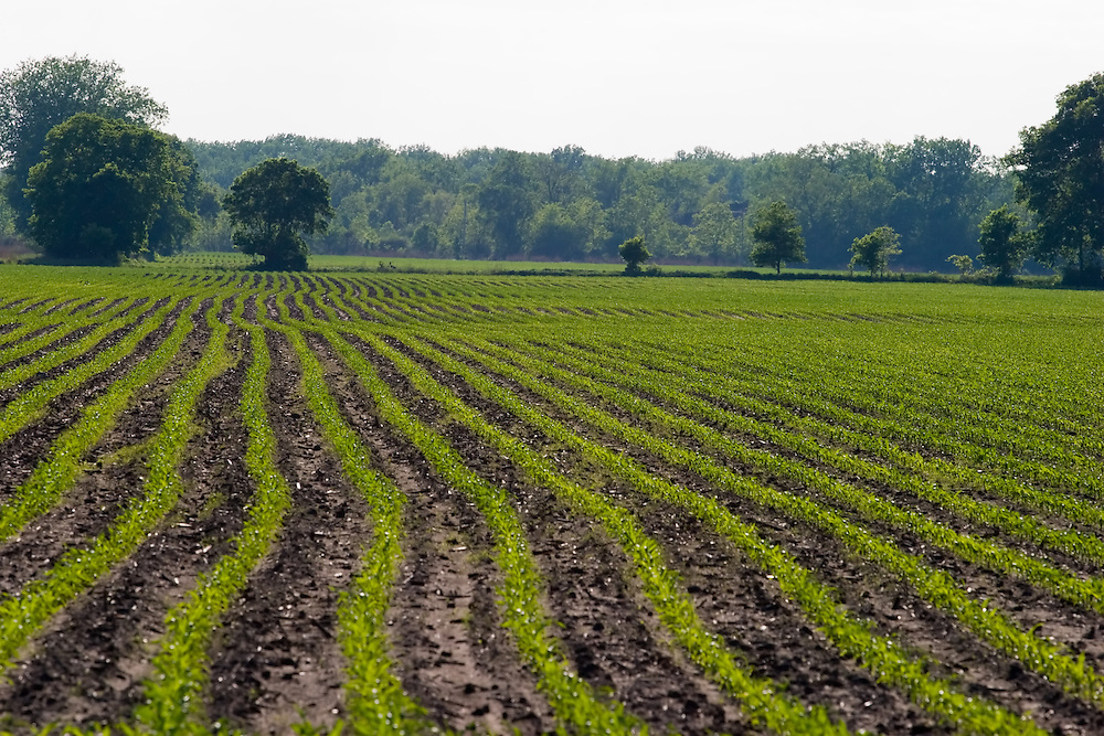 In the late afternoon of a warm summer day, a field of soy beans is beginning to spring out of the rich Illinois soil.