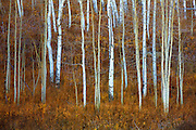 Late autumn in the Gunnsion National Forest near Crested Butte, Colorado.