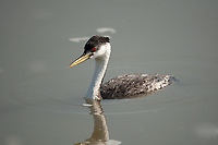 Western Grebe a diving and fish eating seabird found inland in the summer in northern Utah.