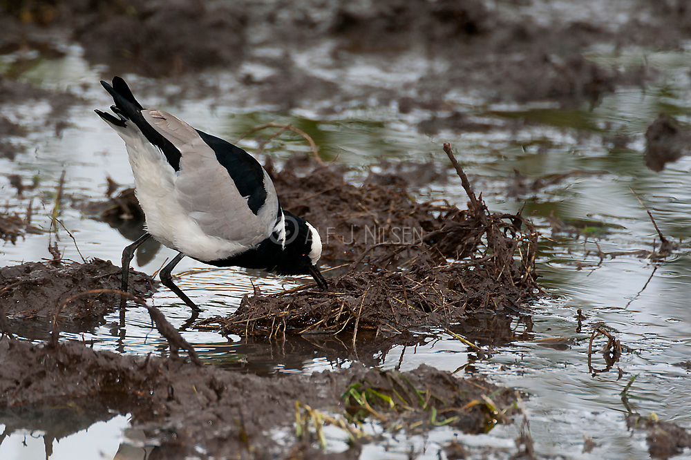 Blacksmith Lapwing (Vanellus armatus) feeding in a pond at Solio Ranch, Kenya.