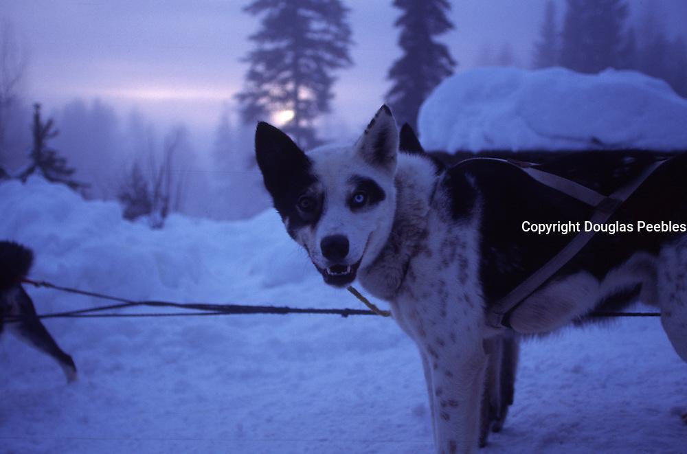 Sled dog (two color eyes ), Alaska<br />
