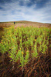A visitor to the Tallgrass Prairie National Preserve passes by a patch of goldenrod during a fall morning hike in the West Traps Pasture of the preserve. Goldenrod is incorrectly associated with hay fever; wind doesn't spread its pollen, insects are responsible. The 10,894-acre Tallgrass Prairie National Preserve is located in the Flint Hills of Kansas in Chase County near the towns of Strong City and Cottonwood Falls. Less than four percent of the original 140 million acres of tallgrass prairie remains in North America. Most of the remaining tallgrass prairie is in the Flint Hills in Kansas. Tallgrass Prairie National Preserve is the only unit of the National Park Service dedicated to the preservation of the tallgrass prairie ecosystem. The Tallgrass Prairie National Preserve is co-managed with The Nature Conservancy.
