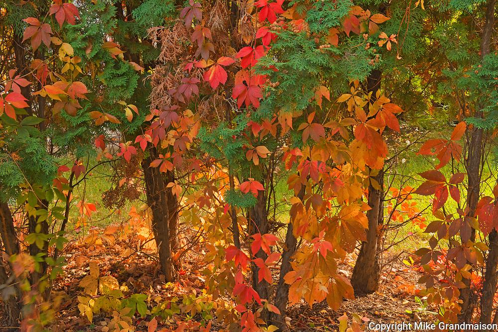 Autumn foliage on shrubs on path in Southdale neighbourhood. <br />Winnipeg<br />Manitoba<br />Canada