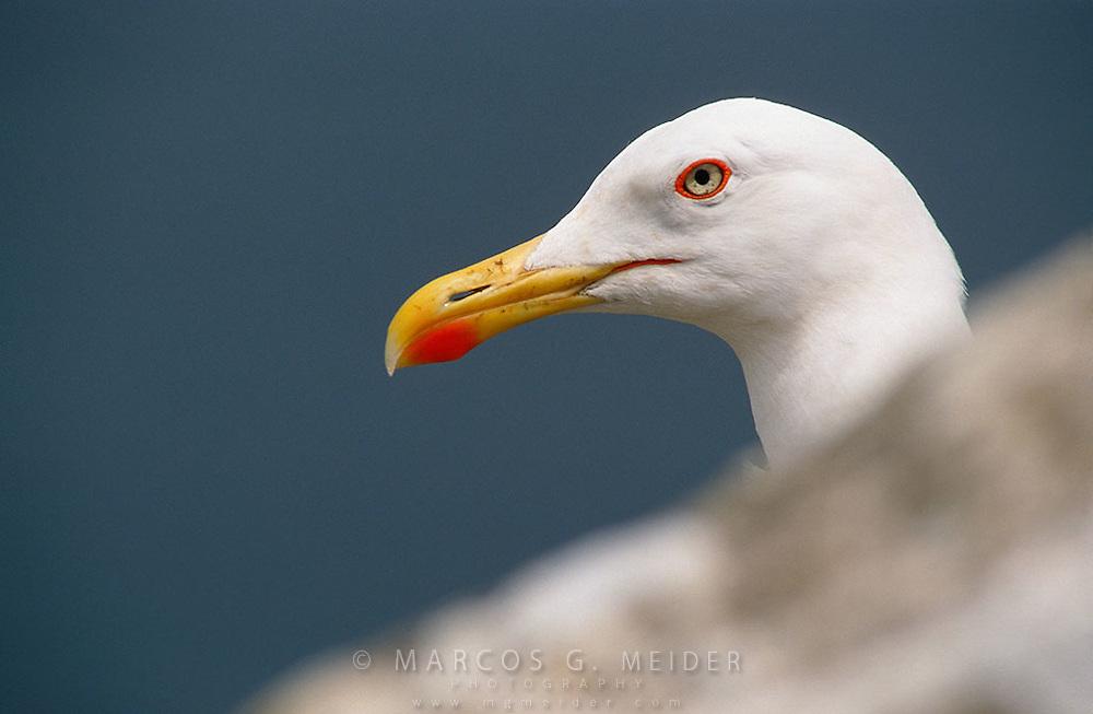 Yellow-Legged Gull (Larus michaelis). Gibraltar, UK.