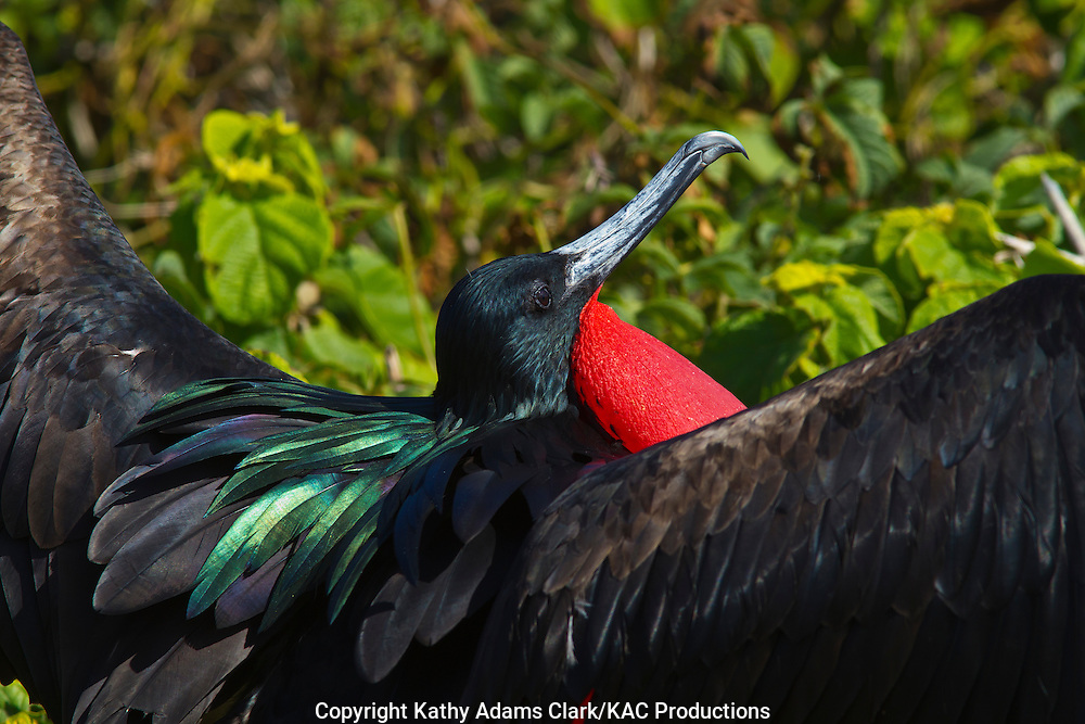 Great frigatebird, pouch inflated in courship, iridescent feathers, Fregata minor, genovesa island, Galapagos, Ecuador