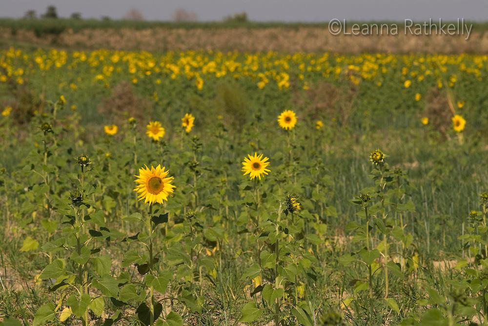 Sunflowers grow in the autumn sunshine, near Chiusi, Italy.