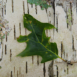 Leaf on Fallen Birch Log, Castine, Maine, US